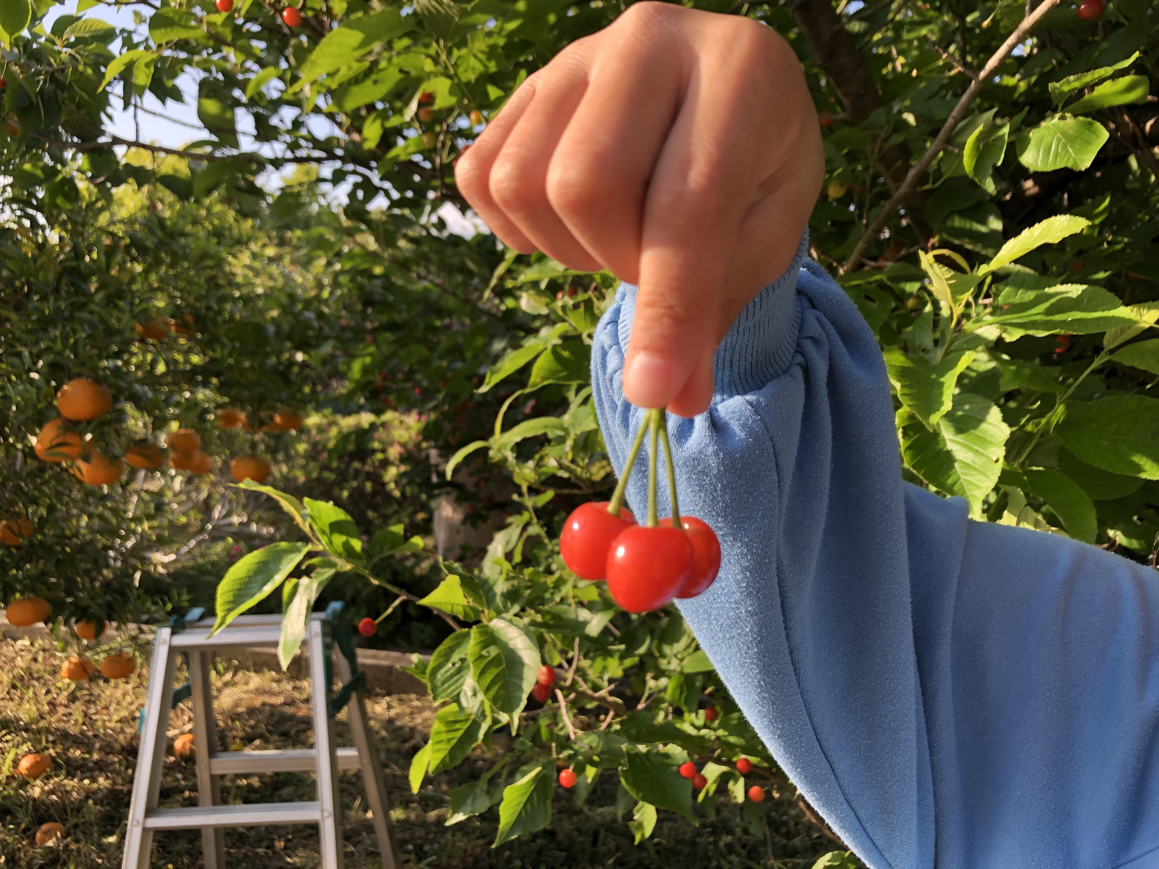 大収穫!さくらんぼがいっぱい。
